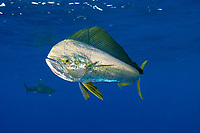 Dolphinfish, Coryphaena hippurus, Mozambique Channel, Indian Ocean, Africa