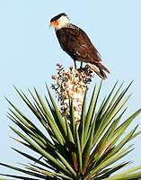 Crested caracara on yucca bloom
