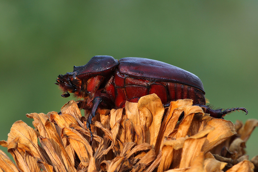 "The ox beetle, Strategus aloeus, is a species of rhinoceros beetle. The ""major"" males of this species have three large horns on their thoraces, resembling the Triceratops. The ""minor"" males have horns, as well, but the two back ones are small and the frontal horn is much shorter than the horn in major males. The female ox beetle (seen here) has a very short horn which has little use in fighting, but is used for digging in the ground."