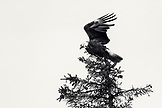 USA, Alaska, Homer, China Poot Bay, Kachemak Bay, a bald eagle spotted in the trees near the Kachemak Bay Wilderness Lodge, (B&W)