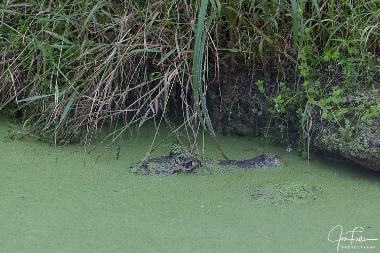 Spectacled Caiman, Caiman crocodilus, patiently waits for  unsuspecting prey to get too close.  It waits in a pond with just its head showing, covered with duckweed.  It is found in much of Central and South America, including Mexico, Belize, Guatemala, Honduras, El Salvador, Nicaragua, Costa Rica, Panama, Colombia, Venezuela, Guyana, Suriname, French Guyana, Brazil, Ecuador, Peru, and Bolivia.  Also found on Trinidad and Tobago.  It has been introduced to Florida in the U.S., Cuba, and Puerto Rico.  It is the most common of all crocodilian species.
