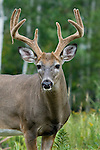 White-tailed buck (Odocoileus virginianus) in velvet