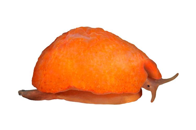 Lamellaria perspicua