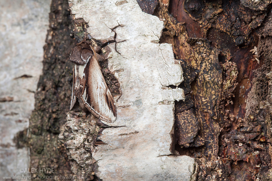 Swallow Prominent moth (Pheosia tremula) resting on birch bark where it is well camouflaged. The National Forest, Leicestershire, UK. May.
