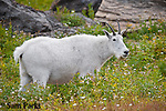 Mountain goat in flowers. Glacier National Park, Montana.