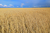 Wheat field<br /> Morse<br /> Saskatchewan<br /> Canada