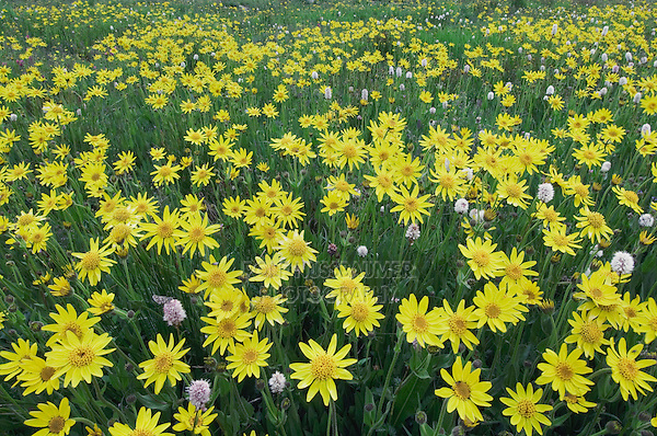 Wildflowers in alpine meadow,Heartleaf Arnica,Arnica cordifolia,Bistort, Ouray, San Juan Mountains, Rocky Mountains, Colorado, USA