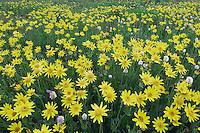 Wildflowers in alpine meadow,Heartleaf Arnica,Arnica cordifolia,Bistort, Ouray, San Juan Mountains, Rocky Mountains, Colorado, USA