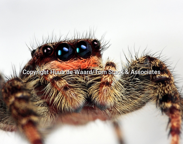 Rather large jumping spider, made with magnification factor 3 and f/16 using a Canon 40D and a Canon macrolens MP-E 65 mm/f2.8. ..The jumping spider family (Salticidae) contains more than 500 described genera and about 5,000 described species, making it the largest family of spiders with about 13% of all species. Jumping spiders have good vision and use it for hunting and navigating. They are capable of jumping from place to place, secured by a silk tether. Jumping spiders are active hunters, which means that they do not rely on a web to catch their prey. Instead, these spiders stalk their prey. They use their superior eyesight to distinguish and track their intended meals, often for several inches. Then, they pounce, giving the insect little to no time to react before succumbing to the spider's venom. They are capable of learning, recognizing, and remembering colours (source: Wikipedia)..