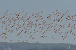 Shorebirds in Hayward