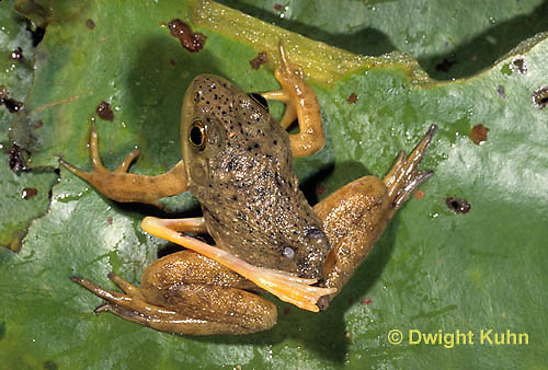 FR23-015b  Bullfrog - deformed frog with extra leg - Lithobates catesbeiana, formerly Rana catesbeiana