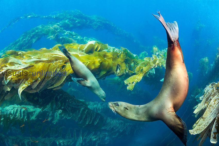 California Sea Lions (Zalophus californianus) swimming in Giant Kelp (Macrocystis pyrifera), Santa Barbara Island, California, USA.