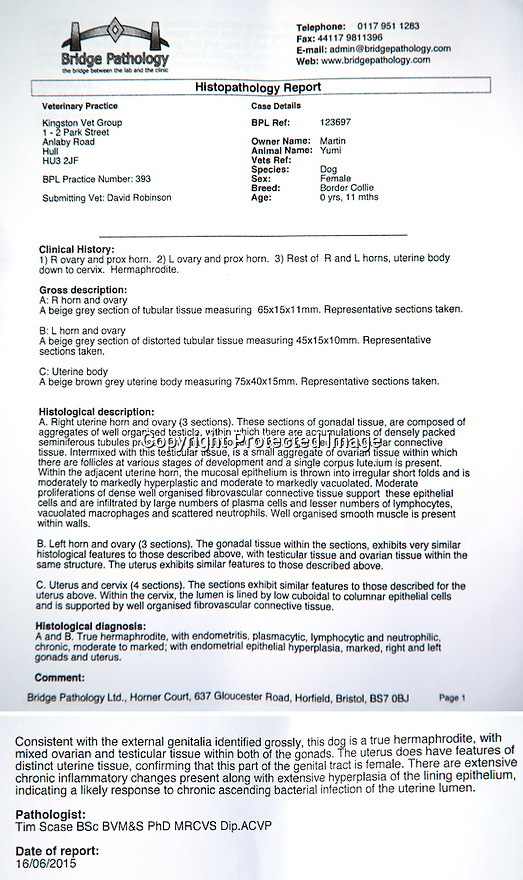 """04/07/15<br /> <br /> Pathology report confirming Umi's status as a hermaphrodite.<br /> <br /> Full story here: http://www.fstoppress.com/articles/hermaphrodite-dog/<br /> <br /> The new owners of this rescued one-year-old Border Collie were stunned when their vets discovered that their new dog was neither male nor female, but both.<br /> <br /> John and Susan Martin picked up Yumi, a healthy young dog, from Protecting Preloved Border Collies in May. """"Soon after we got her home she developed an infection in her 'lady-bits'"""" said John.<br /> <br /> """"They feared she had Pyometra - an infection of the uterus which can be fatal in dogs if not caught quickly"""" he added.<br /> <br /> Their local vets in Hull treated her with antibiotics and anti inflammatory drugs.<br /> <br /> When she didn't seem to be getting any better they took a closer look and noticed what they thought was a bone growing out of her vulva. Yumi was referred to the Small Animal Teaching Hospital in Liverpool who identified 'the bone' as growing male genitalia.<br /> <br /> Yumi had surgery to remove the growth. Then a second operation to spay her revealed what vets first believed to be tumours on her ovaries. But these tumours were discovered to be testicle tissue. They were also removed successfully. The vets explained that although Yumi was 'intersex' (or hermophrodite) she was more female than male.<br /> <br /> All Rights Reserved: F Stop Press Ltd. +44(0)1335 418629   www.fstoppress.com."""