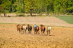 Nippenose Valley. Six horse team. Belgian and Percheron.