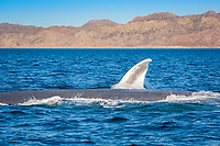 blue whale, Balaenoptera musculus, pectoral fin, endangered species, Loreto Bay National Park, Baja California Sur, Mexico, Guld fo California aka Sea of Cortez, East Pacific Ocean