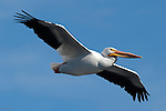 White Pelican in Flight, American White Pelican, Sepulveda Wildlife Refuge, Southern California