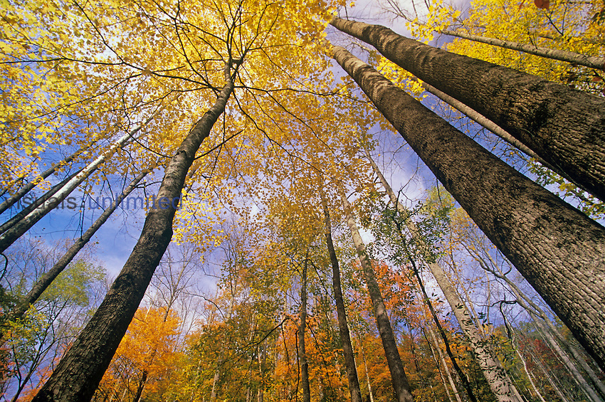 Skyward view of the autumn forest, Great Smoky Mountains National Park, Tennessee, USA.
