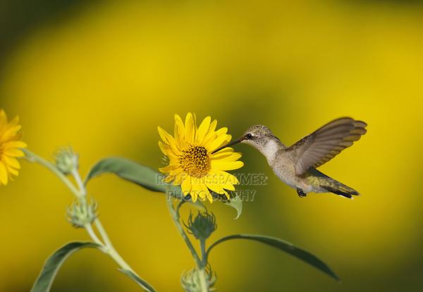 Ruby-throated Hummingbird (Archilochus colubris), female feeding on Maximilians Sunflower (Helianthus maximilianii), Hill Country, Central Texas, USA