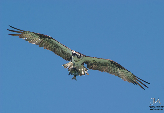 Osprey flying overhead, clutching a striped fish.  Feather structure is shown by beautiful backlighting by the sun.