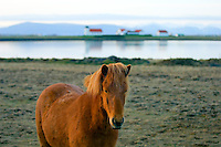 Icelandic horse in front of Bessastadir, the presidential resident in Iceland