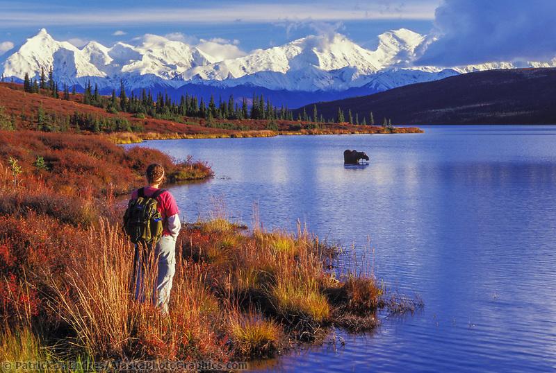 Autumn tundra and taiga, Wonder Lake, cow moose feeds as hiker observes, Alaska Range mountains, Denali National Park, Alaska.