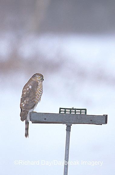00787-004.07 Sharp-shinned Hawk (Accipiter striatus) on bird feeder in winter, Marion Co.  IL