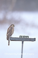 00787-004.07 Sharp-shinned Hawk (Accipiter striatus) on bird feeder in winter, Marion Co.  IL