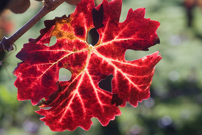 Fall colors on leaf of grapevine
