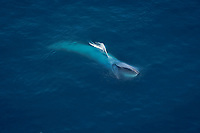 blue whale, Balaenoptera musculus, feeding on krills, endangered species, Channel Islands National Marine Sanctuary, California, USA, Pacific Ocean (sequence 2 of 6)