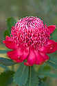 Waratah (Telopea speciosissima) flower head. Near Pearl Beach, Central Coast, New South Wales