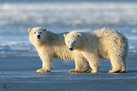 Polar Bear (Ursus maritimus) siblings. Male cub (on the left) was usually very curious about us, while his sister (on the right) was typically indifferent. Amazing animals and it was great to see enough of them to get a hint of their individual<br />