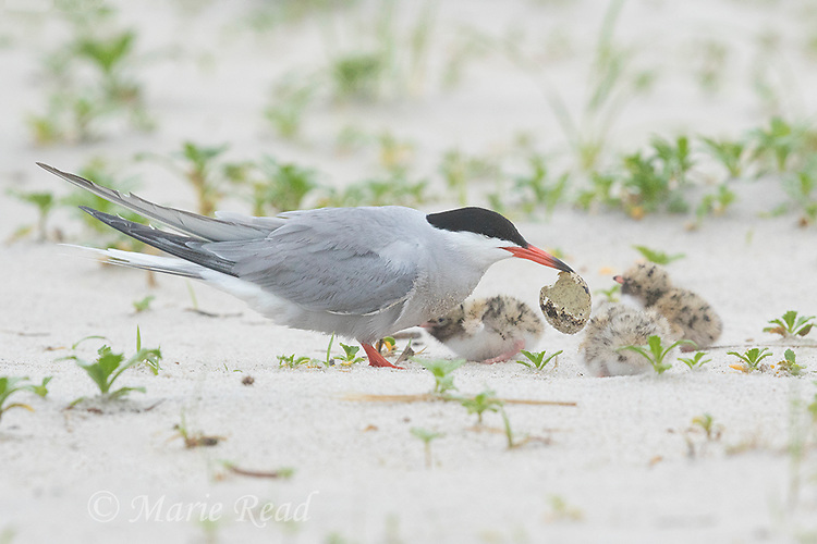 Common Tern (Sterna hirundo), adult removing eggshell, three small chicks nearby, Long Island, New York, USA