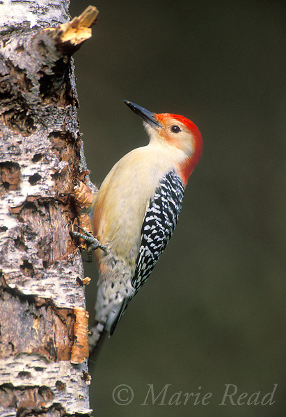 Red-bellied Woodpecker (Melanerpes carolinus), male clinging to a treetrunk, New York, USA<br /> Slide # B96-603