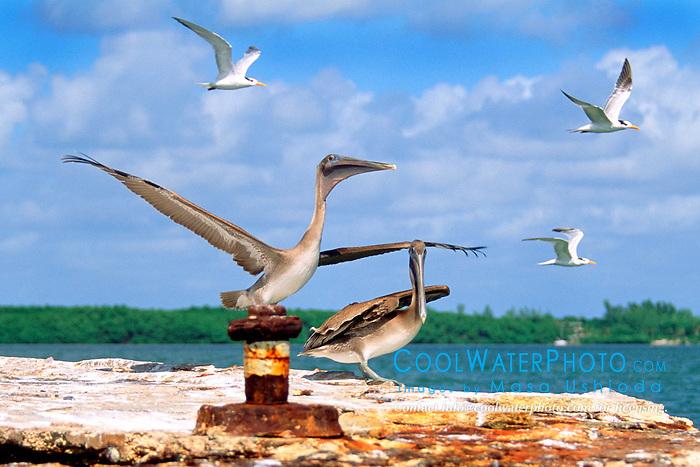 juvenile brown pelicans, Pelecanus .occidentalis, and royal terns, Sterna .maxima, John Pennekamp Coral Reef .State Park, Key Largo, Florida