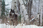 Ever alert, a single gray wolf casts a wary glance towards the photographer.  Recent reintroductions in Yellowstone National Park have proven highly successful as newly formed packs recognize historic territory.