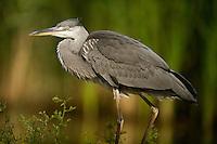 Portrait of a Grey Heron (Ardea cinerea), Hortobagy National Park, Hungary