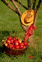 Apple harvest-- A full bushel basket of ripe perfect apples sits beside an apple  tree holding a straw hat and red bandana.,