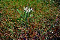 Wetlands and swamp in Kakadu National Park, Australia, a swamp Lilly