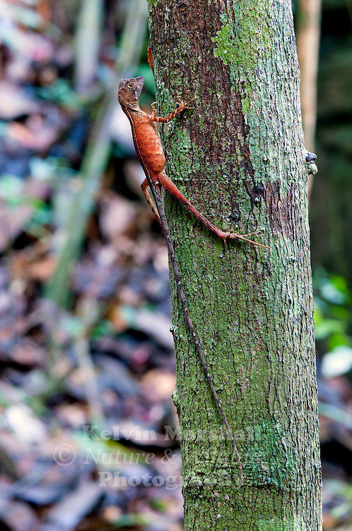 The Brown-patched Kangaroo lizard (Otocryptis wiegmanni), also called Wiegmann's Agama or Sri Lankan Kangaroo Lizard, is a small, ground dwelling agamid lizard endemic to the wet zone forests and lower mountain forests (up to 1300 metres) of Sri Lanka. It is commonly seen in the leaf litter of shady rain forests. When perceiving danger, it spurts away quickly on its large hind legs and might eventually climb up a sapling or tree. It feeds on small insects, grubs and tender shoots. Sinharaja Forest Reserve - Sri Lanka.