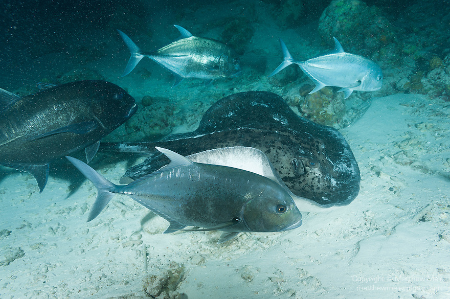 Alimatha Island, Felidhoo Atoll, Maldives; Blackjack fish waiting for a free meal to escape from beneath a large Marbled Ray as it forages for food on the sandy bottom