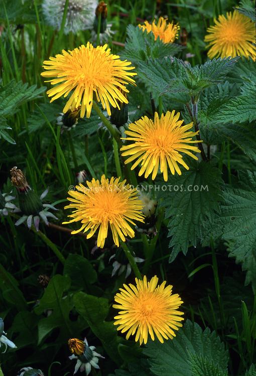 Dandelions, Taxacetum officinale