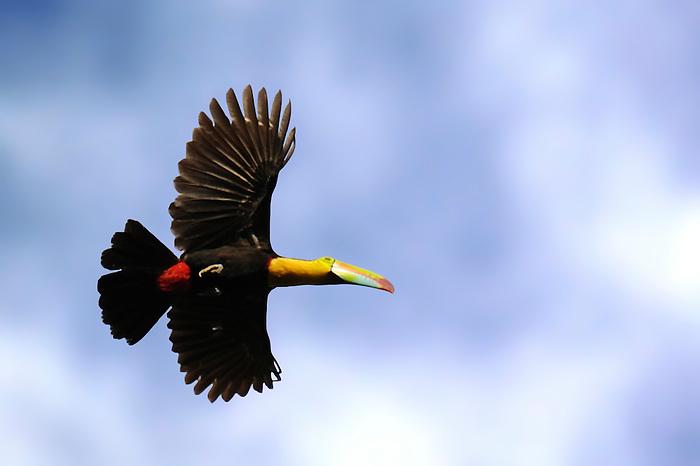 Vuelo al amanecer / tucán / aves de Panamá.