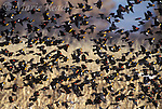 Mixed flock of Red-winged Blackbirds (Agelaius phoeniceus) and Yellow-headed Blackbirds (Xanthocephalus xanthocephalus) in flight over a winter cornfield, Bosque Del Apache National Wildlife Refuge, New Mexico, USA<br /> Slide # B163-403