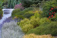 Calluna vugaris 'Silver Knight'  (Scotch Heather) with Erica darleyensis 'Goldrush' (lower right)<br /> Goldrush' (  Albers Vista Garden, Albers Vista Gardens