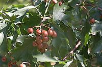 Elsbeere, Früchte, Sorbus torminalis, Wild Service Tree, Alisier torminal