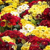 Gisela, FLOWERS, BLUMEN, FLORES, photos+++++,DTGK1937,#f#
