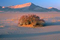 Borrego milkvetch,  Kelso Dunes<br /> Mojave National Preserve<br /> Mojave Desert<br /> San Bernardino County,  California