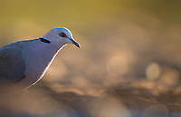 Doves are a common sight at watering holes in South Africa.