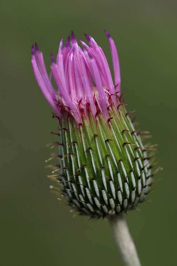 Texas wild thistle as it 'breaks out'.