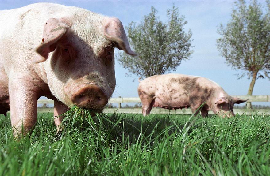 Nederland, Kamerik, 12-10-2001..Biologische scharrelvarkens.  Deze varkens hebben meer ruimte dan strikt voorgeschreven is. Ze kunnen behalve in een uitloop van de stal ook regelmatig in een weiland rondlopen en wroeten  en modderen. ..Foto: (c) Michiel Wijnbergh/Hollandse Hoogte